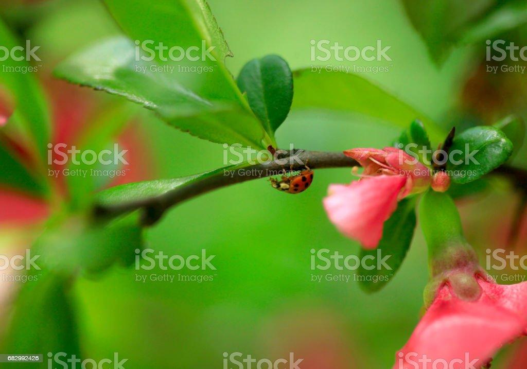 red ladybug in spring garden stock photo