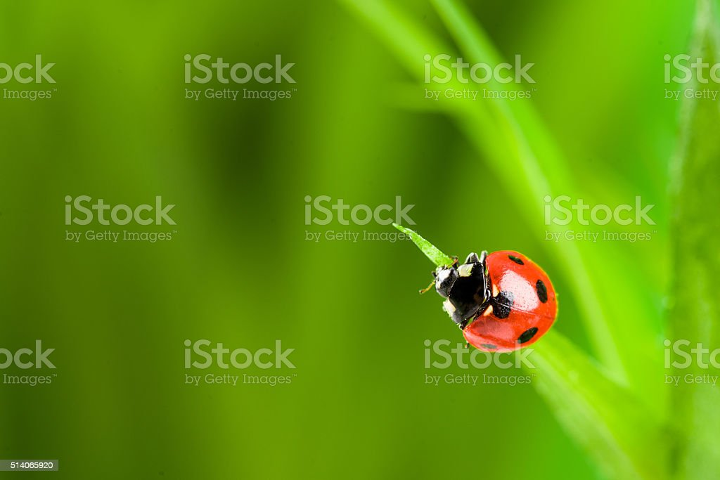 red ladybug on green grass stock photo
