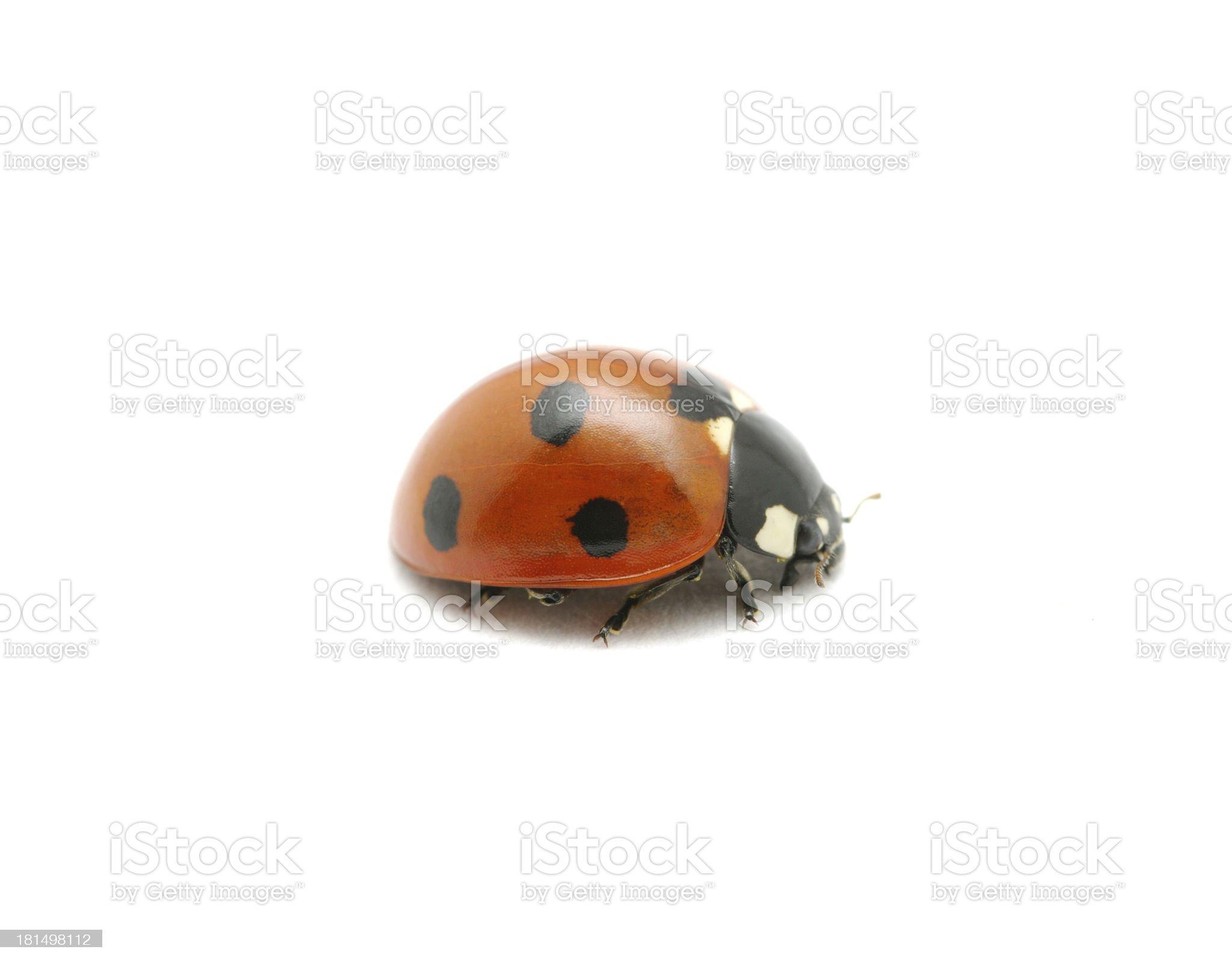 red ladybug royalty-free stock photo