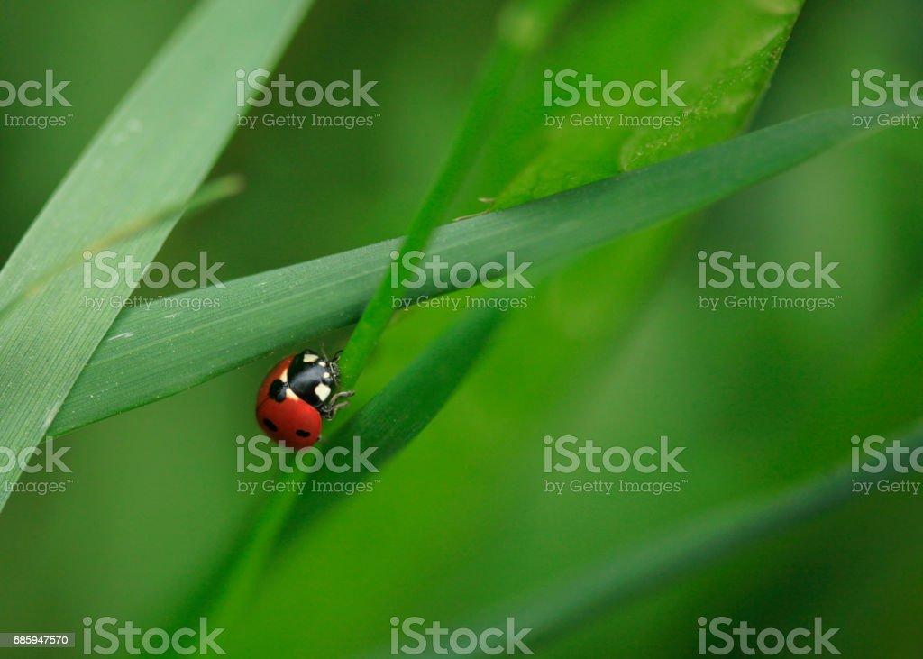 red ladybug stock photo