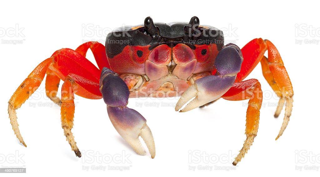 Red land crab, Gecarcinus quadratus stock photo