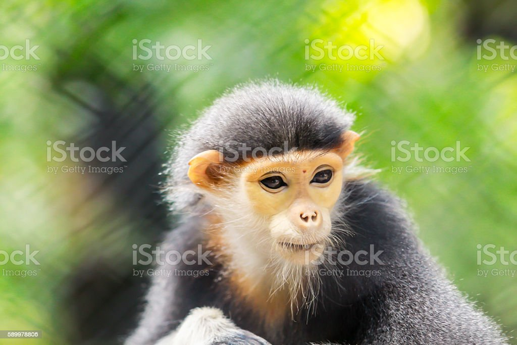 Red langur Very beautiful monkey stock photo