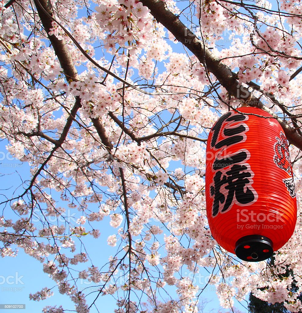 Red lantern during chery blossom in Japan stock photo