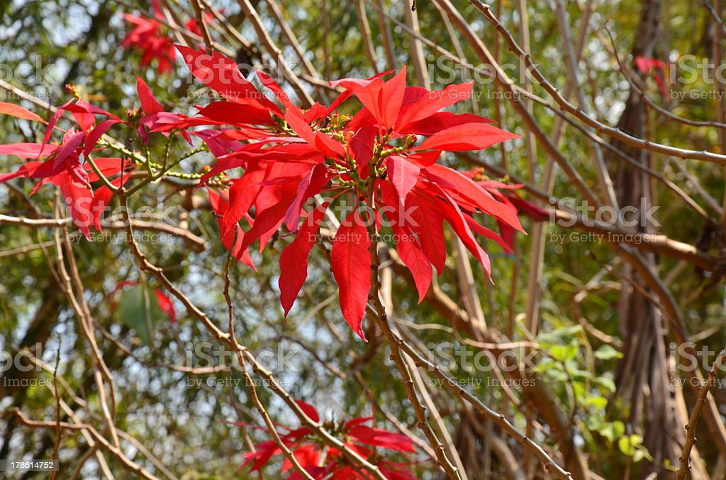 Red Leaf at Phutoei national park Thailand stock photo
