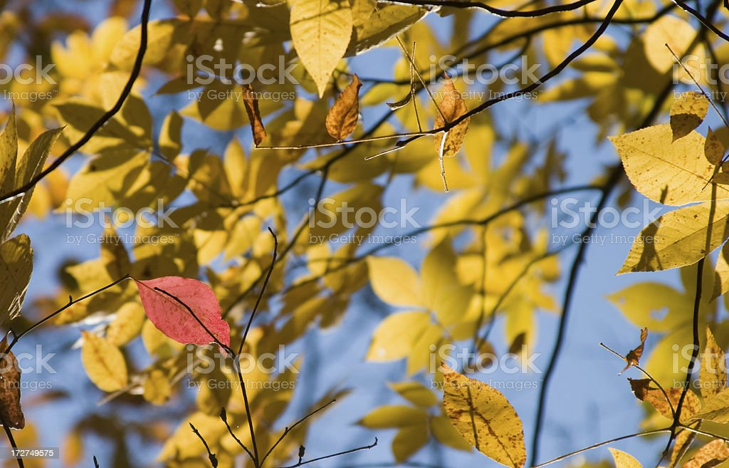 Red Leaf: Be different stock photo