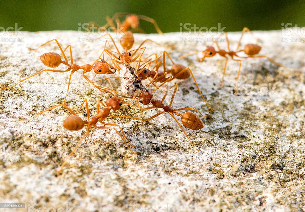 Red leaf cutter ants hive behaviour carrying food from fruiting stock photo