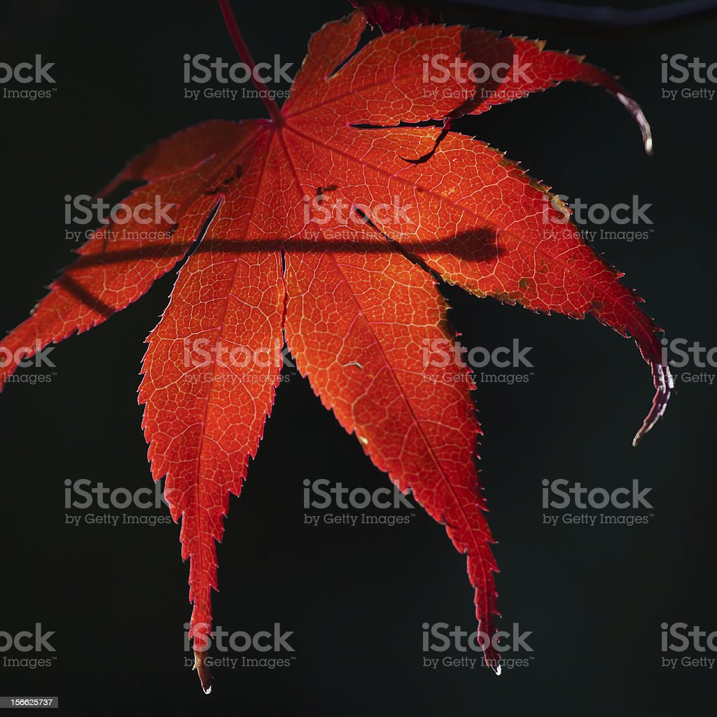 red leaf in autumn royalty-free stock photo