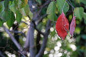 Red leaf in the green