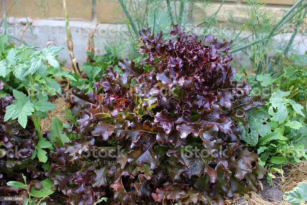 Red leaf lettuce growing in orchard stock photo