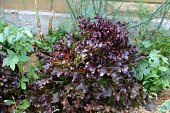 Red leaf lettuce growing in orchard
