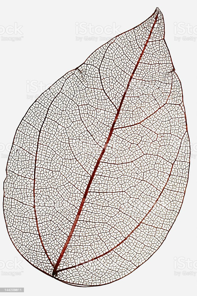 red leaf macro isolated on white stock photo