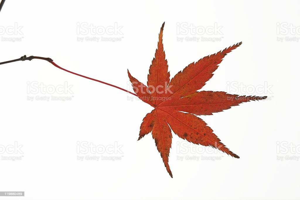 Red leaf of Japanese maple stock photo