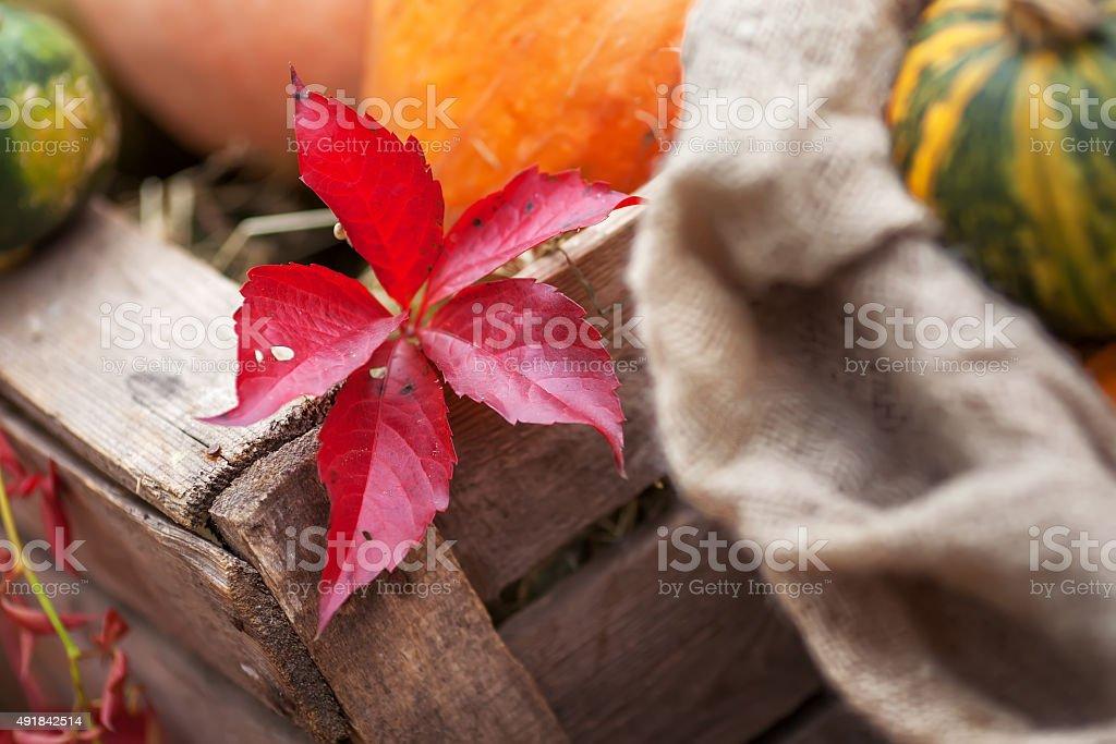 Red leaf. Parthenocissus quinquefolia in autumn time. stock photo