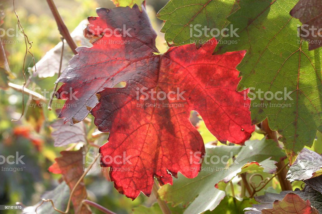 Red leaf stock photo