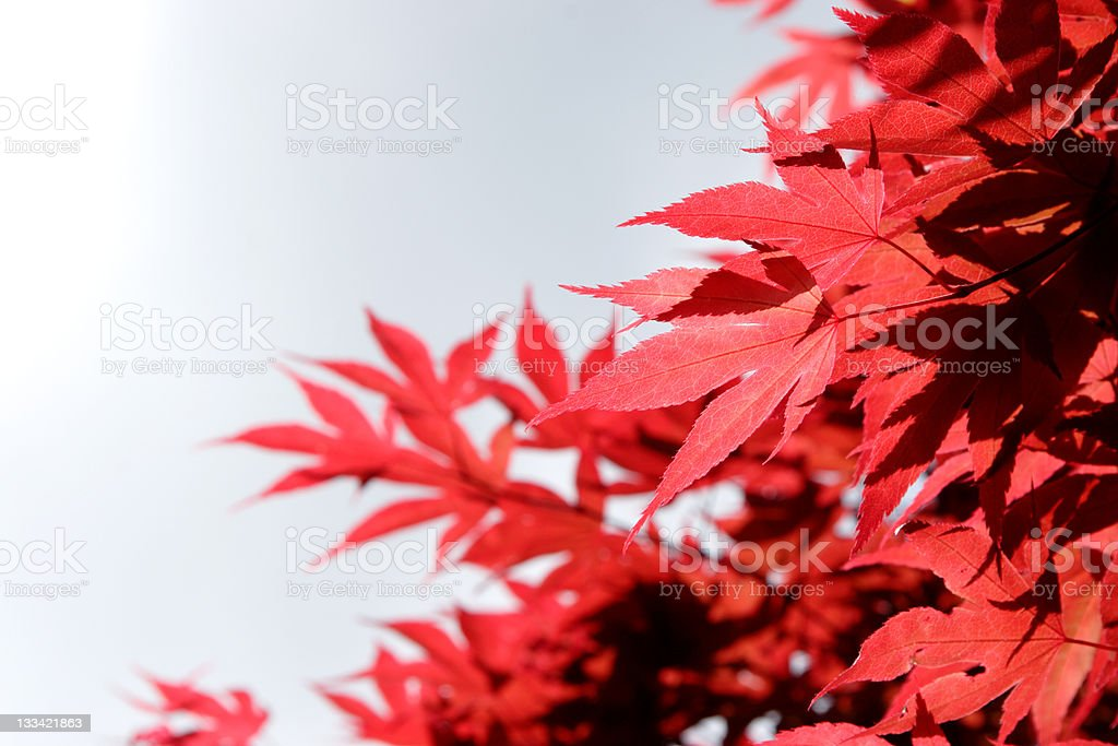 red leaf structure royalty-free stock photo