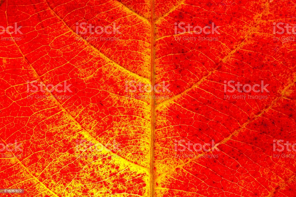 red leaf texture background stock photo