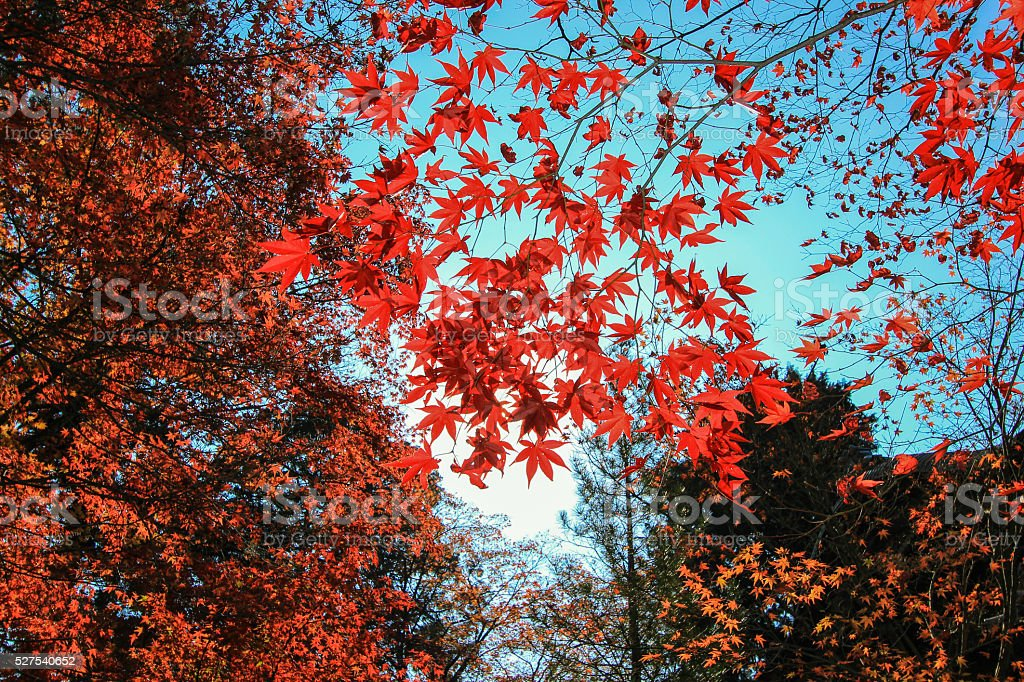 Red leaf with sunlight background stock photo