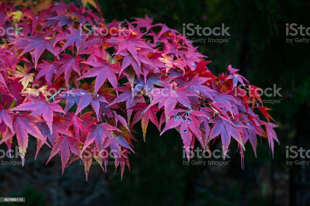 Red leafs of maple tree stock photo