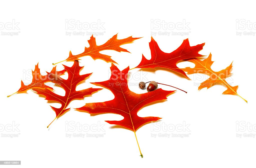 Red leafs of oak and acorns stock photo