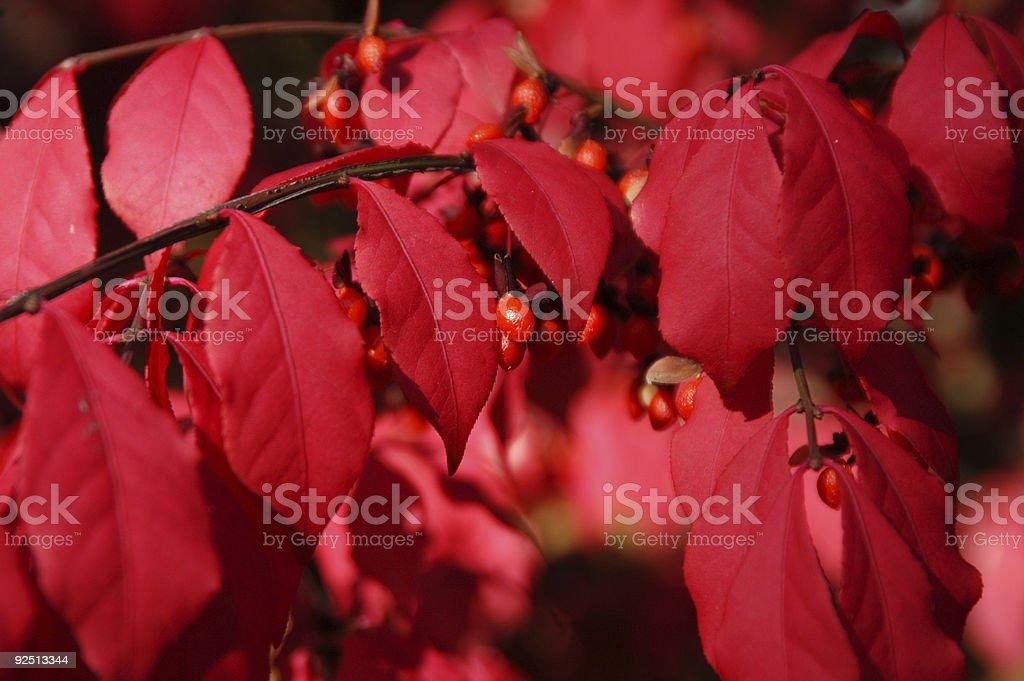 Red Leafy Bush stock photo