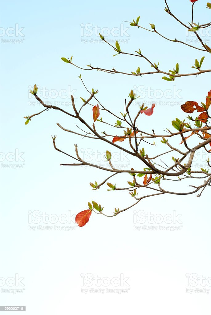 Red leaves and fresh leaves of sea-almond tree stock photo
