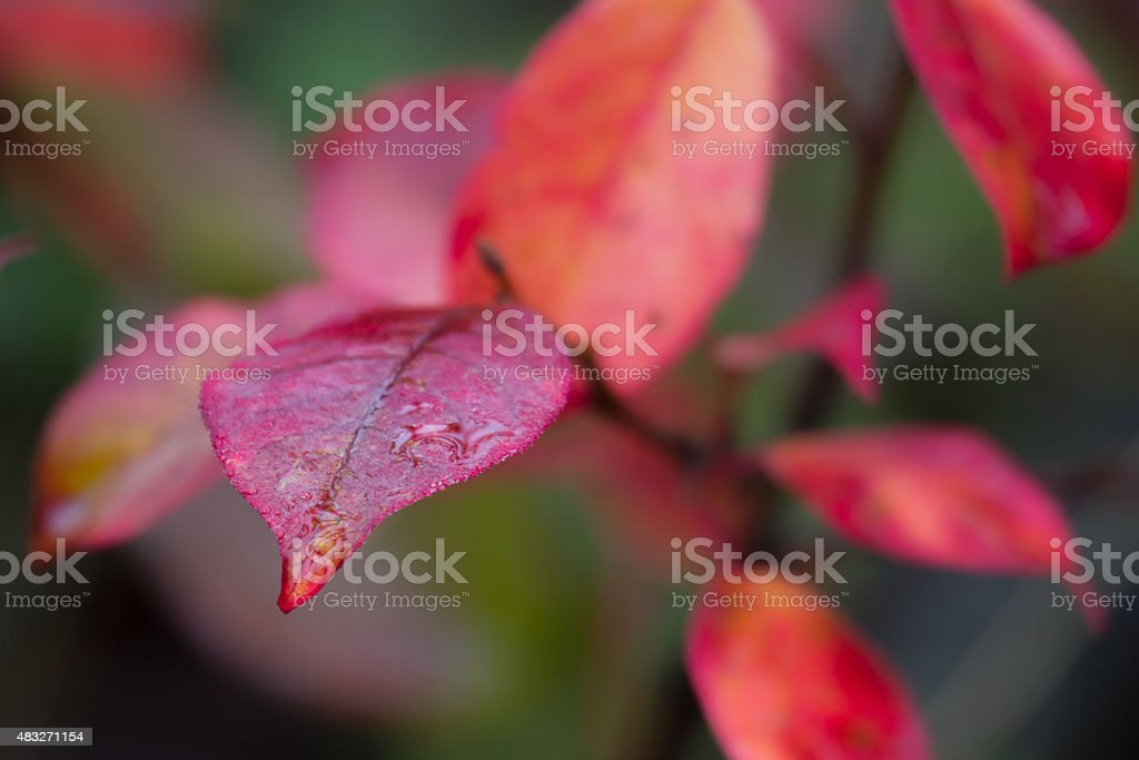 red leaves in the rain stock photo