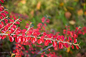 Red leaves of a bush