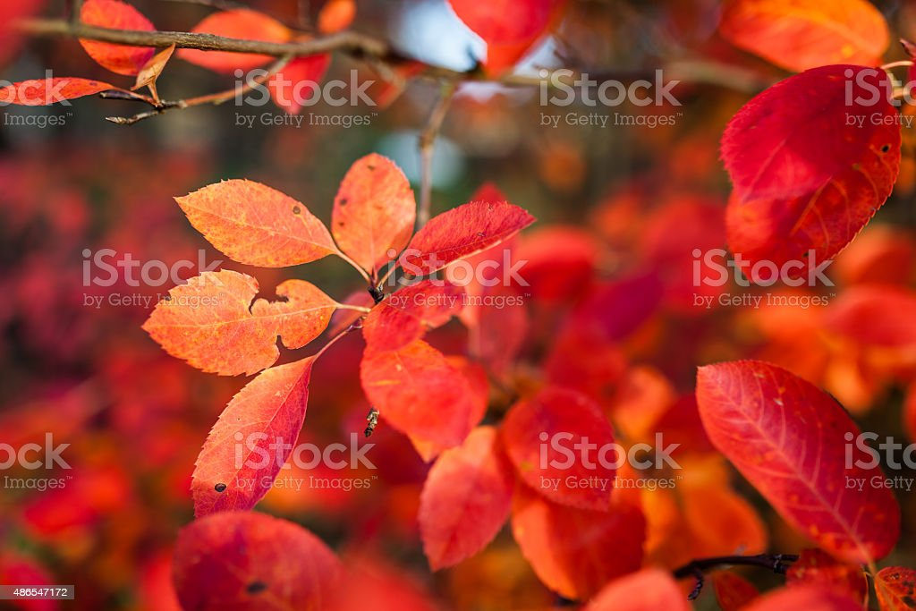 Red leaves of autumn stock photo