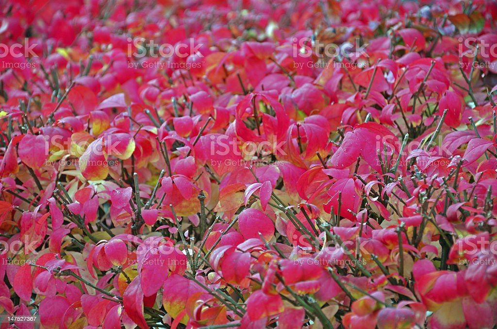 Red leaves on a bush royalty-free stock photo