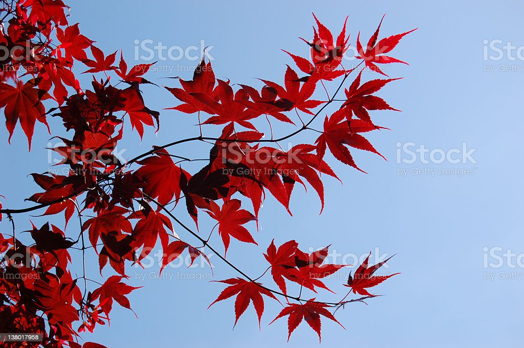 Red Leaves on a tree branch royalty-free stock photo