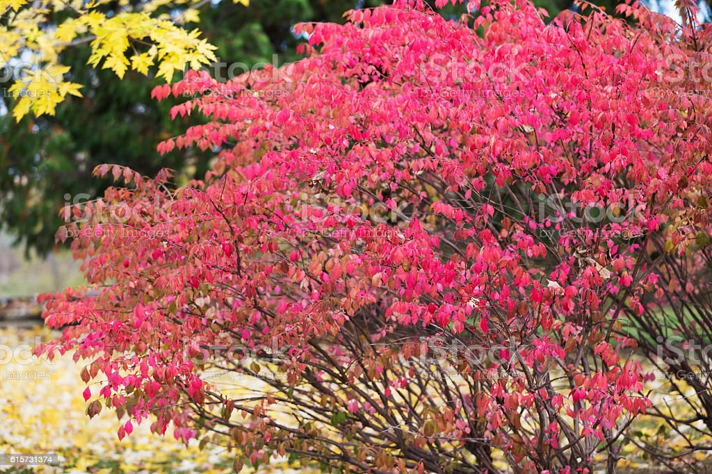 Red Leaves on Burning Bush in Autumn stock photo