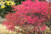 Red Leaves on Burning Bush in Autumn