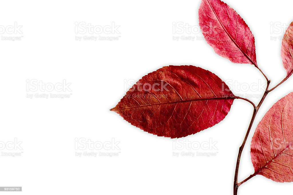 red leaves on white background royalty-free stock photo