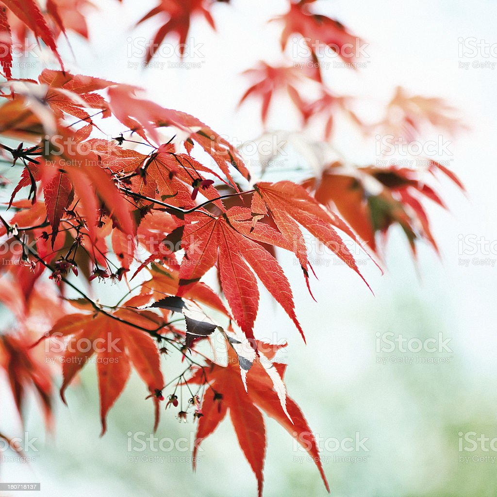 Red leaves royalty-free stock photo