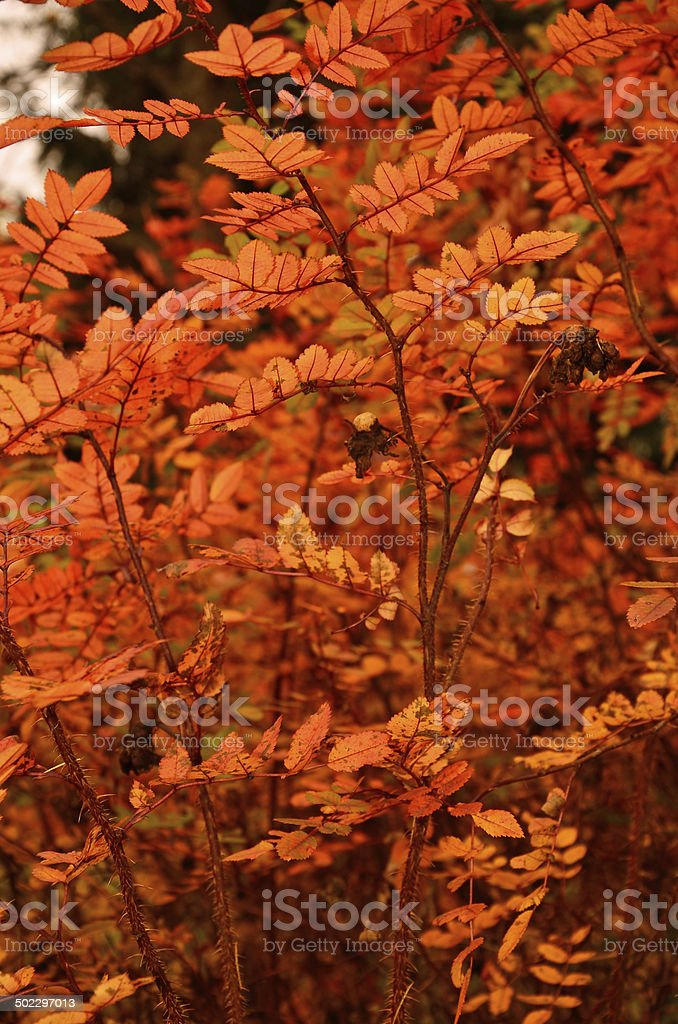 Vermelho folhas foto de stock royalty-free