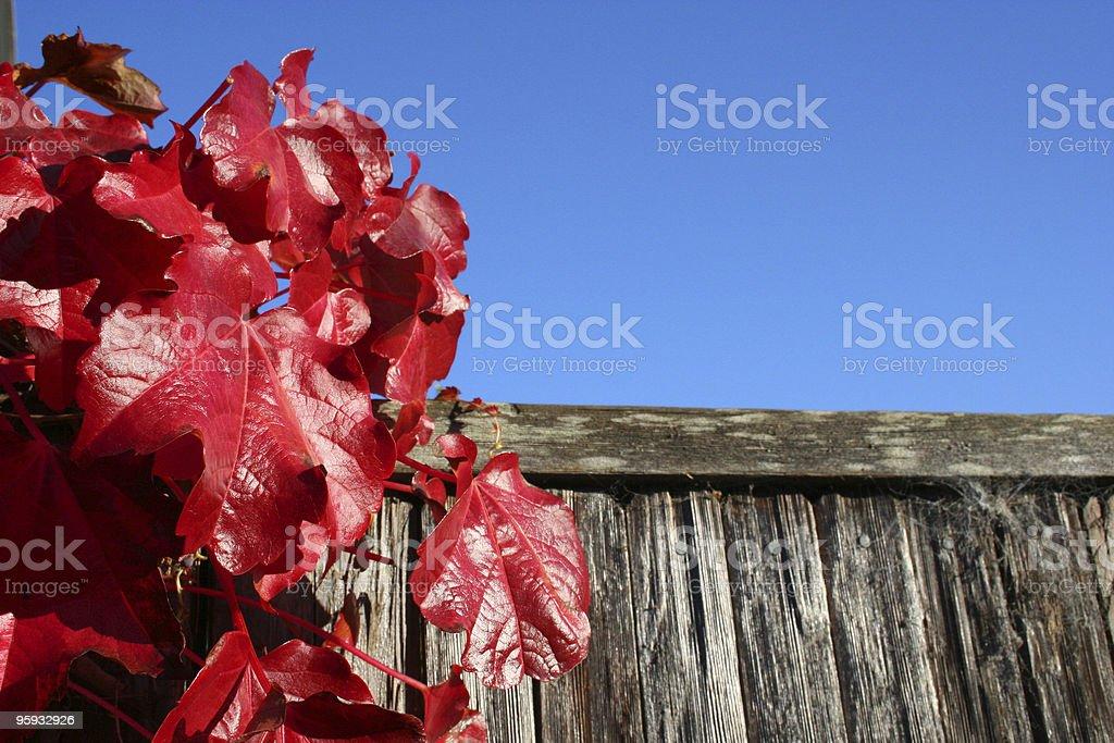 Red Leaves photo libre de droits