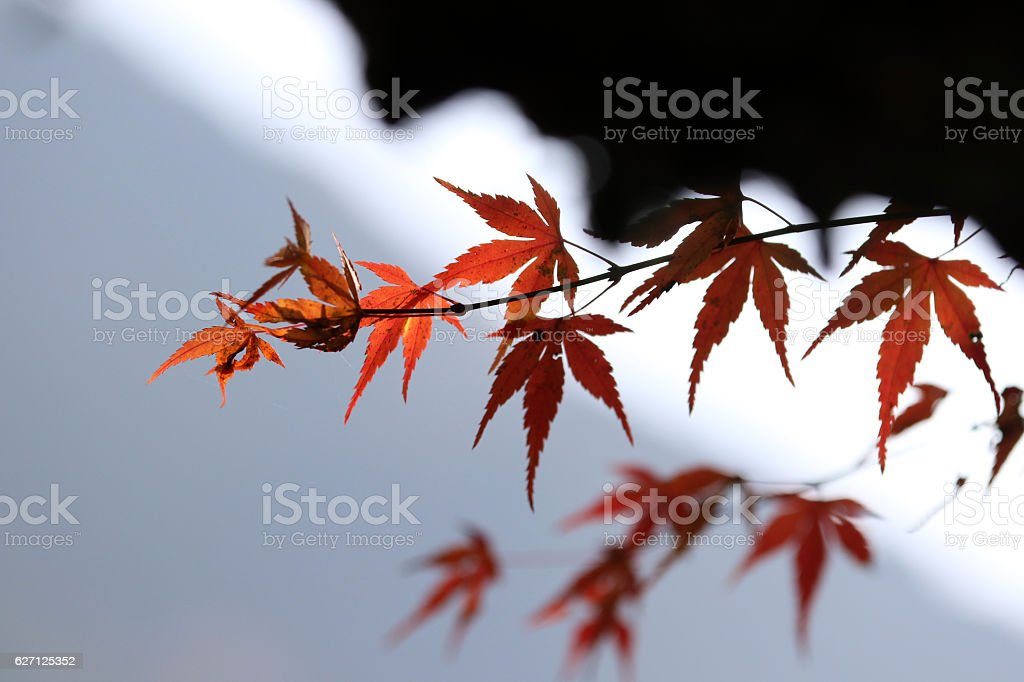 red leaves under roof stock photo