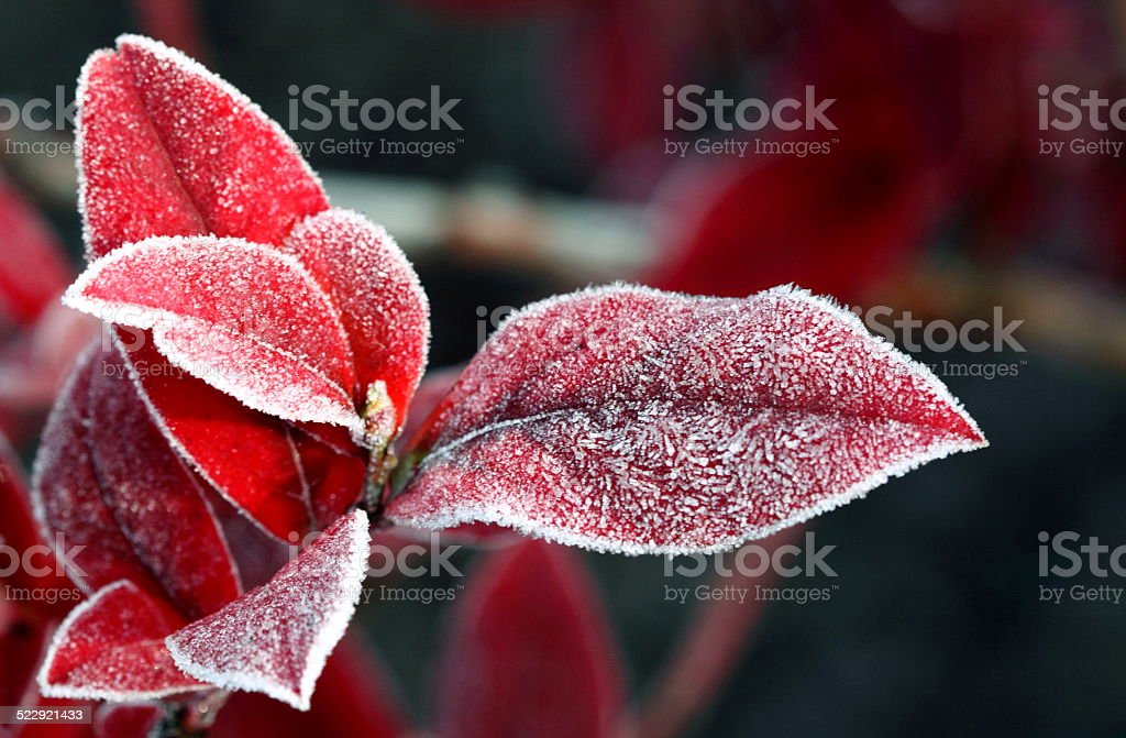 red leaves with ice stock photo