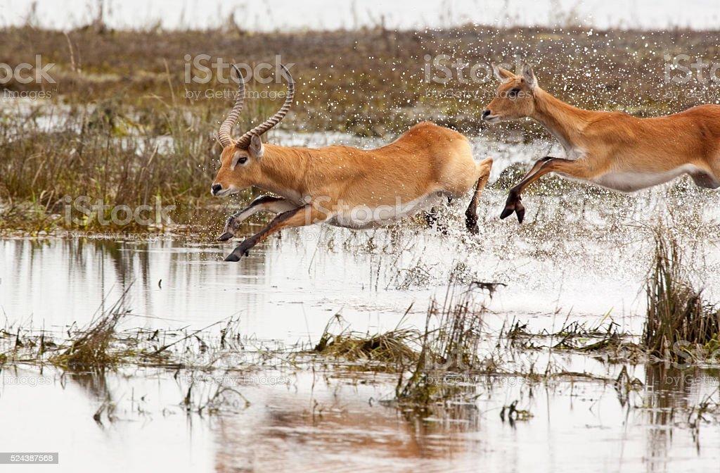 Red Lechwe - Botswana stock photo