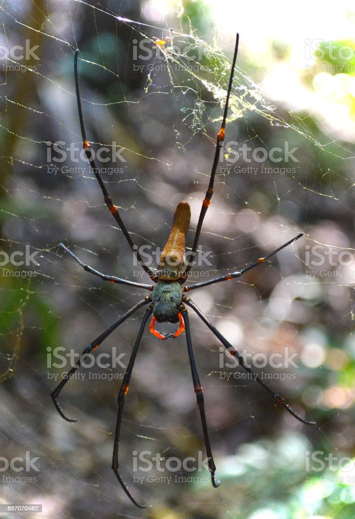 Red Legged Golden Orb spider in the Outback forests in Australia stock photo