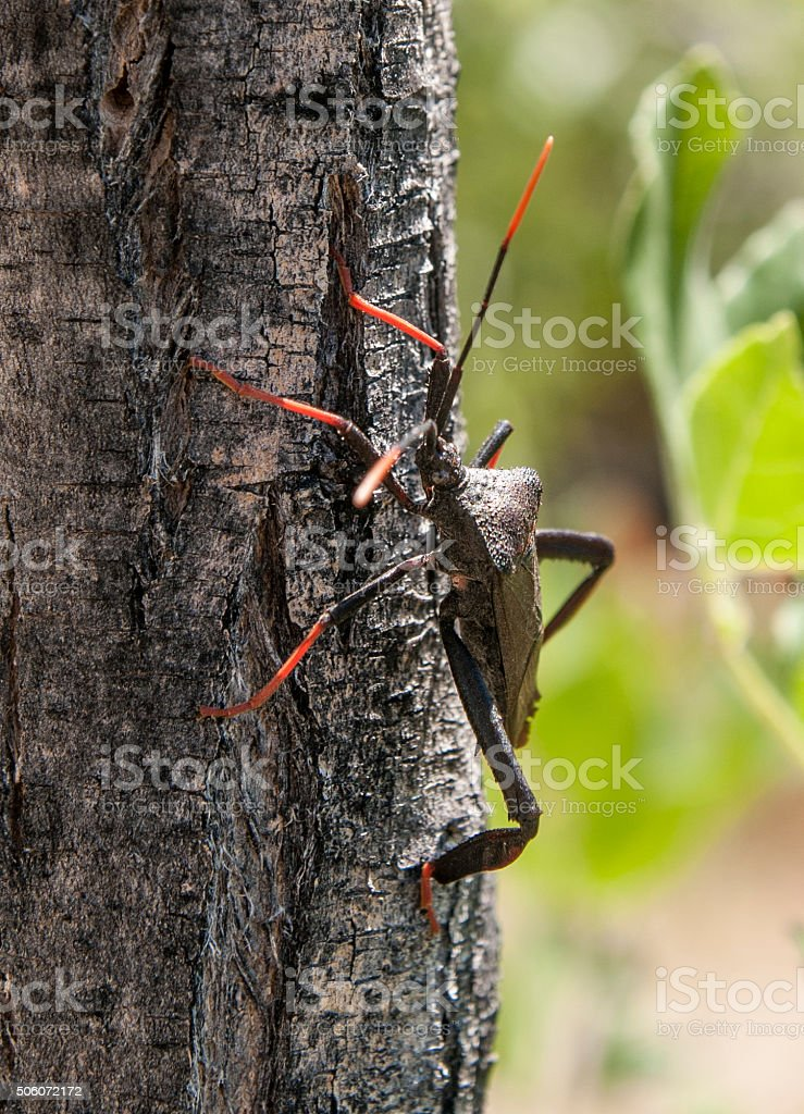 Red legged Leaf Footed bug standing on Tree Trunk stock photo