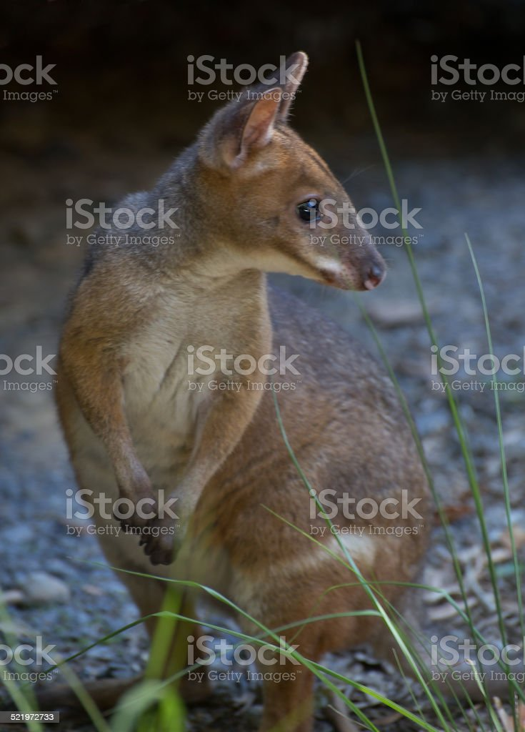 Red legged pademelon looking over shoulder stock photo