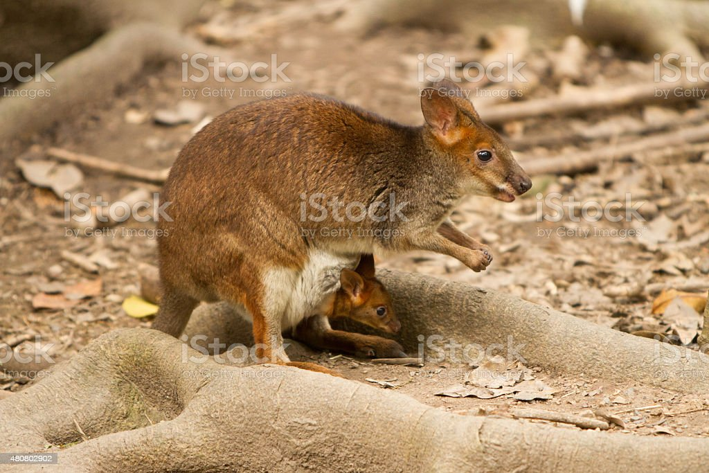 Red Legged Pademelon stock photo