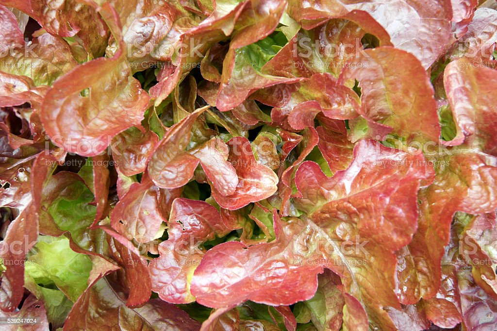 Red Letuce stock photo