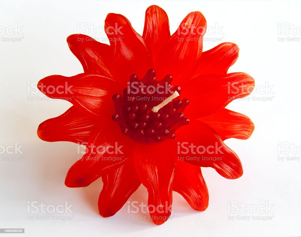 Red Leucadendron candle flower royalty-free stock photo
