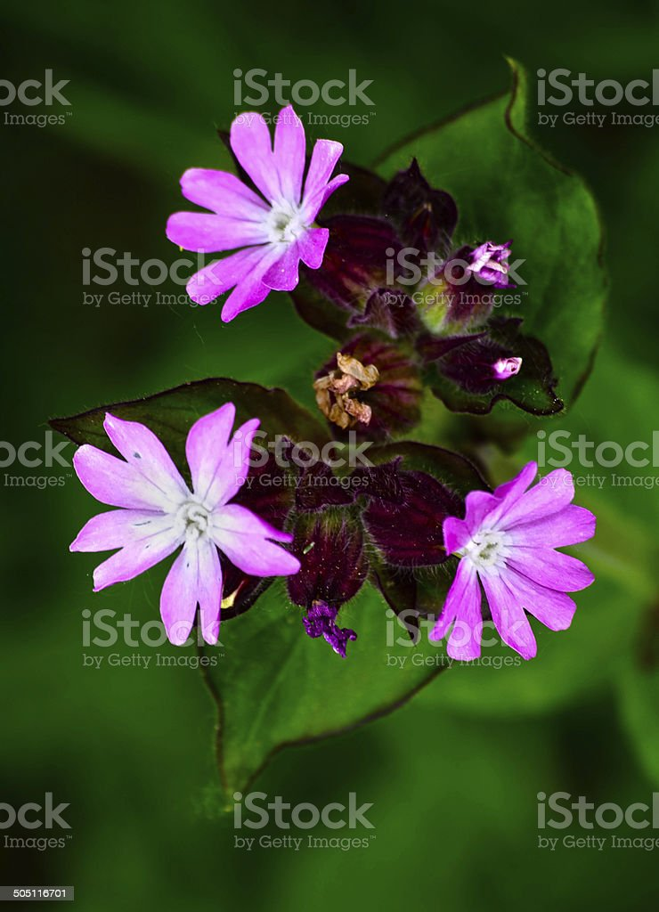 Rote Lichtnelke (Silene dioica) stock photo