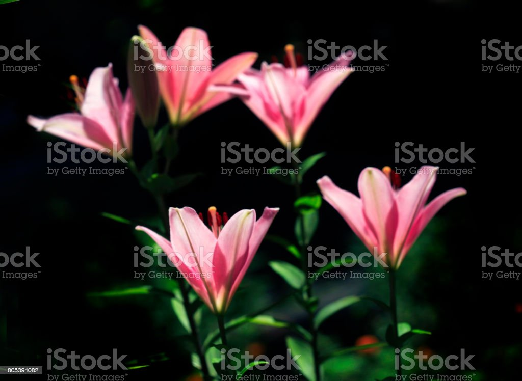 red lilies stock photo