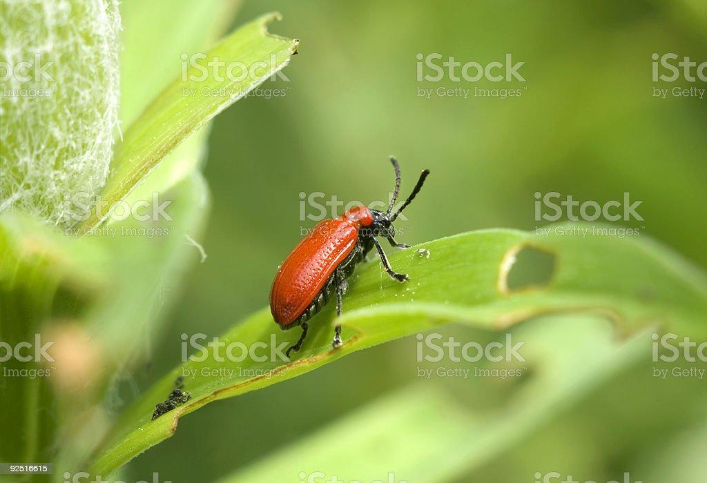 Red Lily Beetle i szkody zbiór zdjęć royalty-free