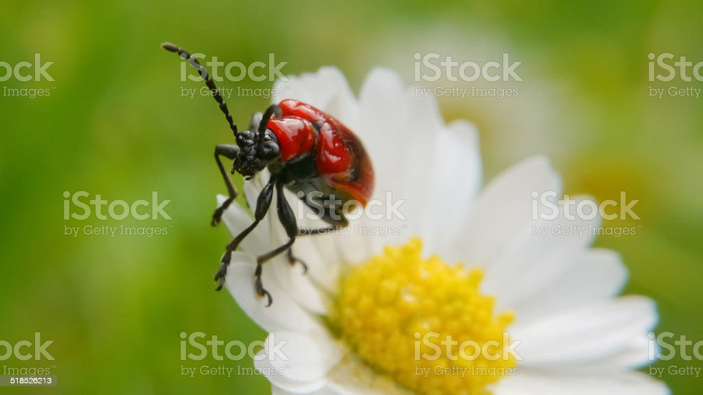 Red lily beetle on a daisy royalty-free stock photo