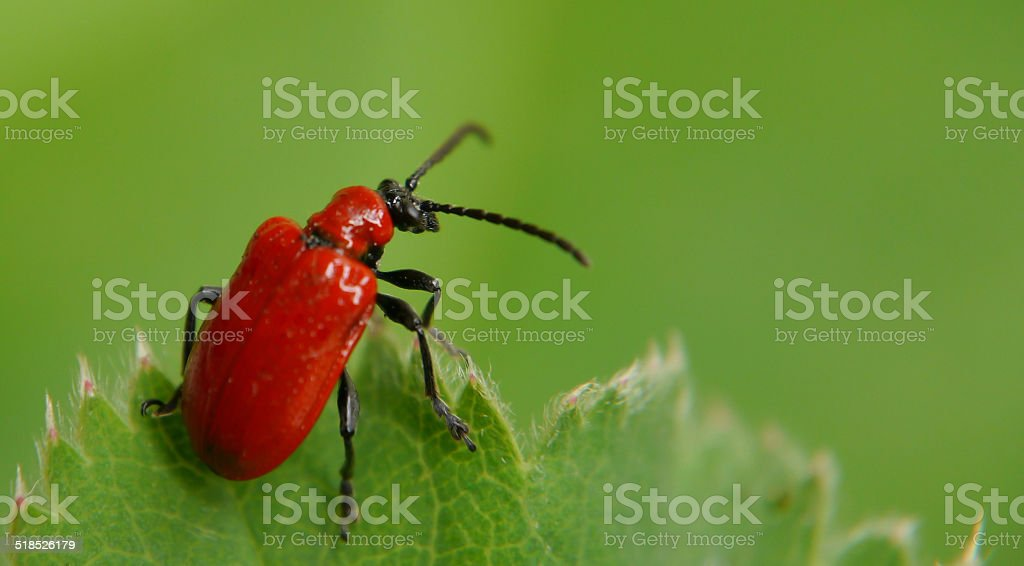 Red lily beetle on a leaf royalty-free stock photo